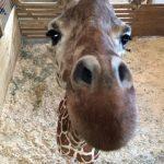 Live birth – April the Giraffe – 2 separate views